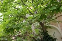 An albino peacock up a tree in the Senate Garden.