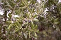 Olive tree by a sidewalk.