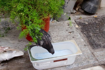 Even pigeons need water.