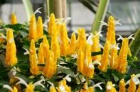 Shrimp plant. Pachystachys lutea.