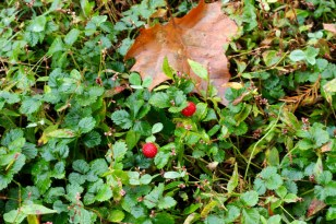 Wild strawberries. And I have another round of raspberries in my own garden.