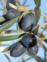 Olive leaf, Olea Europaea courtesy of wikimedia commons.