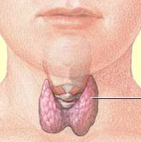 Thyroid Gland in Neck