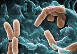 GMO Bacteria