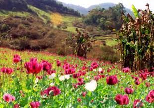Field_of_opium_low_testosterone