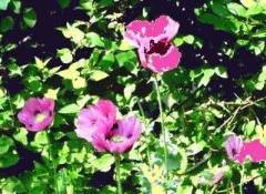 Opium_poppy_low_testosterone