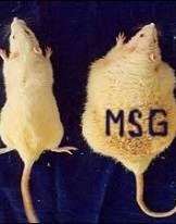 Rats_Fed_MSG_Obesity