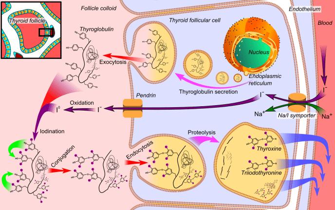 Thyroid_hormone_synthesis_hi res