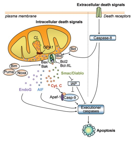 Mitochondrial porgrammed cell death