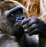 gorilla_cinzoo_atheist_dawkins_evolution_darwin1233933417