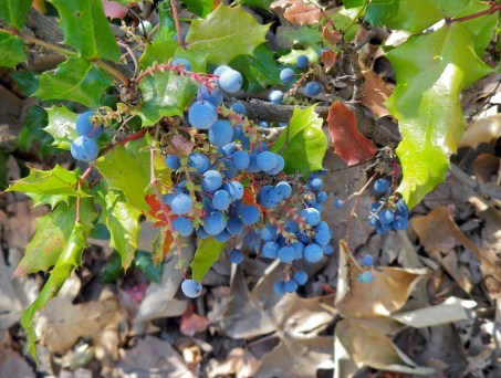 Oregon_Grape_Berberine_Jeffrey_Dach_MD