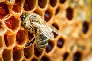 Bee_propolis_CAPE_Anticancer_Beta_Catenin_WNT_TCF
