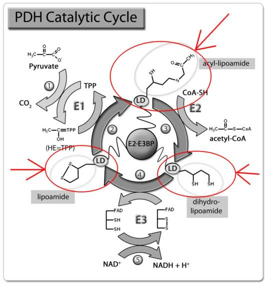 Pyruvate Dehydrogenase Complex Catalytic Cycle alpha lipoic acid Burt Berkson