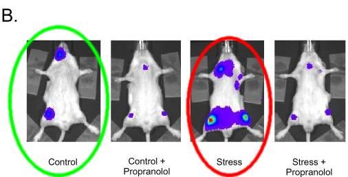 restraint-stress-mice-lymphoma-aa2