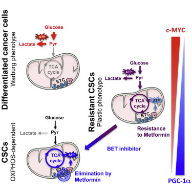 Metformin Metabolic-Phenotype-and-Plasticity-of-Pancreatic-Cancer-Stem-Cells