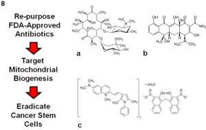 Antibiotics-target-mitochondria-eradicate-cancer-stem-cells2-Rebecca-Lamb-Lisanti-Oncotarget-2015.jpg