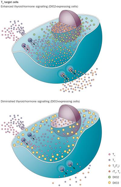 Fig 1 DeIodinases in hypothyroidism Gereben B McAninch EA Nat Rev Endocrinol 2015
