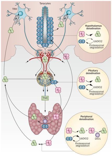 Fig 2 DeIodinases in hypothyroidism Gereben B McAninch EA Nat Rev Endocrinol 2015