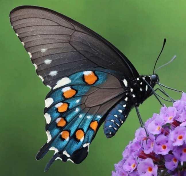11 Blue Butterfly