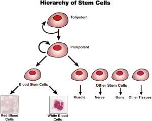 stem-cells3