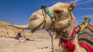 MERS camels