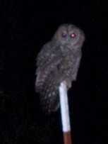 California spotted owl in Yosemite West