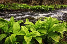 False Hellebore Along Stream