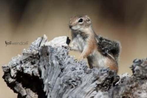 Harris's Antelope Squirrel, Ammospermophilus harrisii photographed by Jeff Wendorff