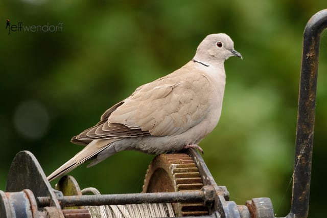 Eurasian Collared-dove, Streptopelia decaocto photographed by Jeff Wendorff near Amsterdam.