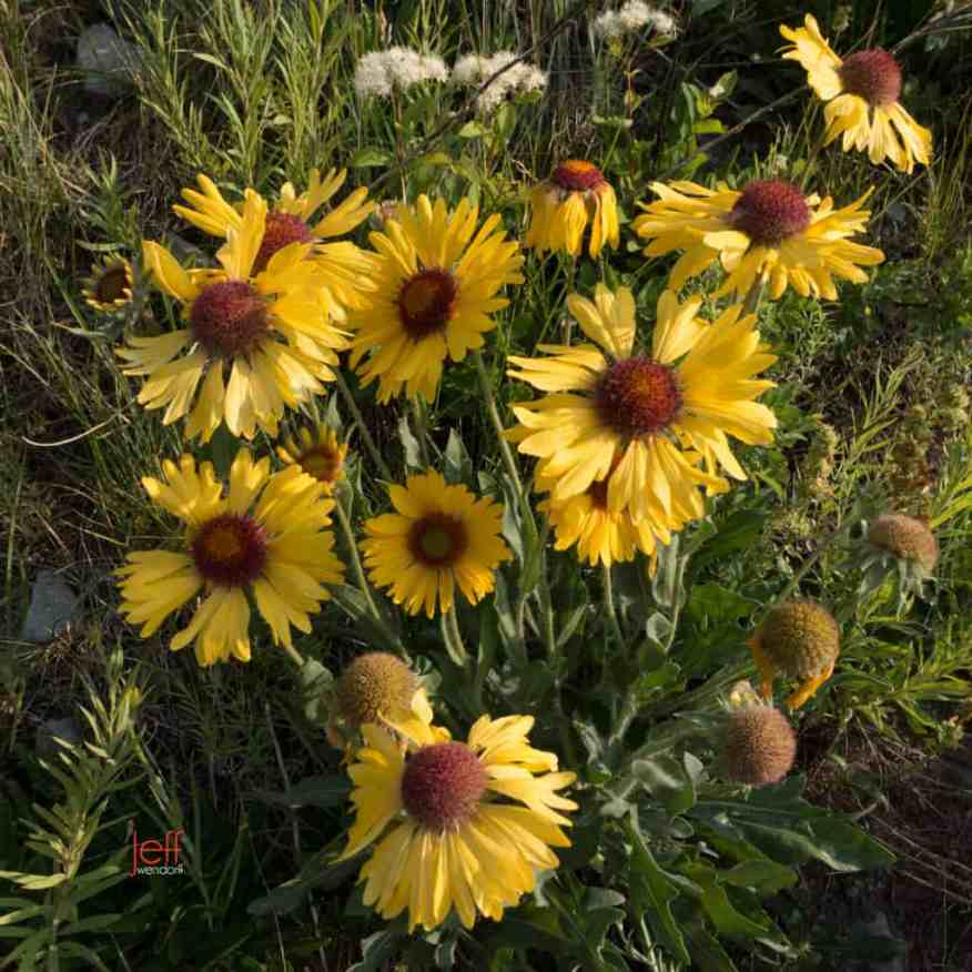 Several Blanketflowers on Swiftcurrent Trail - Glacier park photographed by Jeff Wendorff