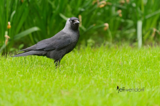 Western Jackdaw (Corvus monedula), also known as the Eurasian Jackdaw, European Jackdaw or simply Jackdaw photographed by Jeff Wendorff