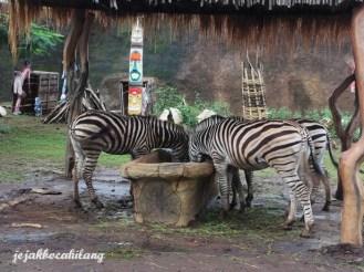 Zebra - Batu Secret Zoo