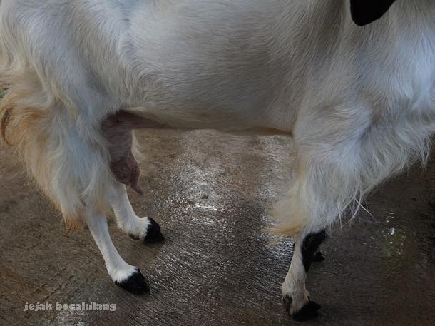 puting susu kambing Etawa