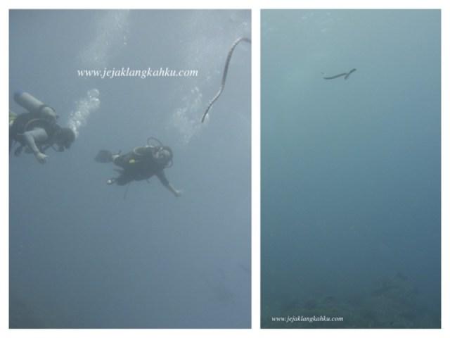diving sea snake lombok 1
