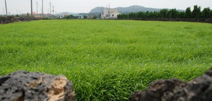 Jeju-Olle-Trail-Typical-View-Field