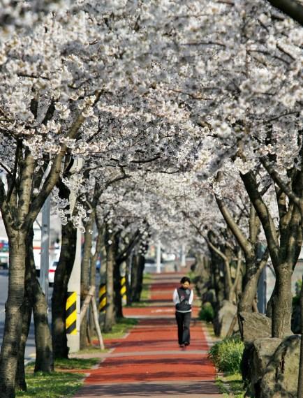 연삼로벚꽃거리2