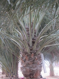 The Date Palm Tree