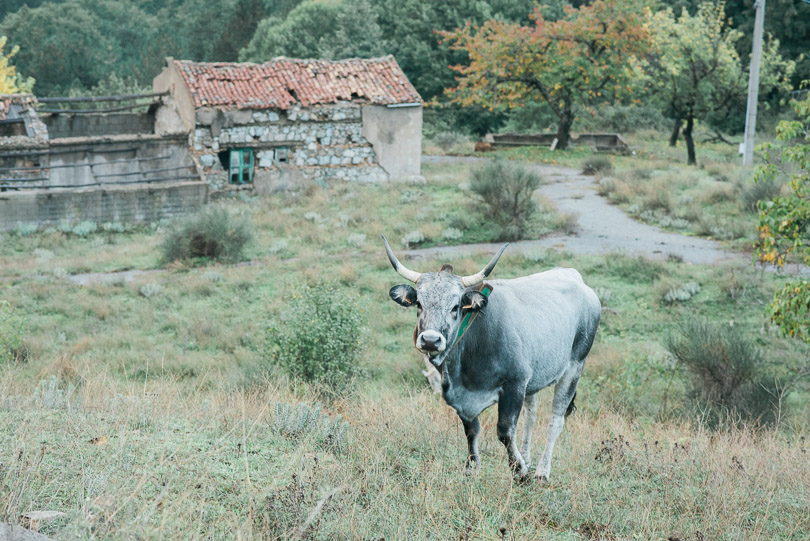 cow-italy-farm-photography