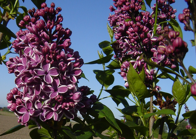 It's Lilac-o-Clock in the Skagit