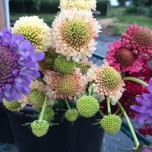 Scabiosa, cut flowers