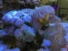 Hammer (left) and frogspawn (right) Euphylia corals growing closely together. While not visible, the smaller of the hammer coral heads appear to be listless and limp in the water, a possible sign of trouble.