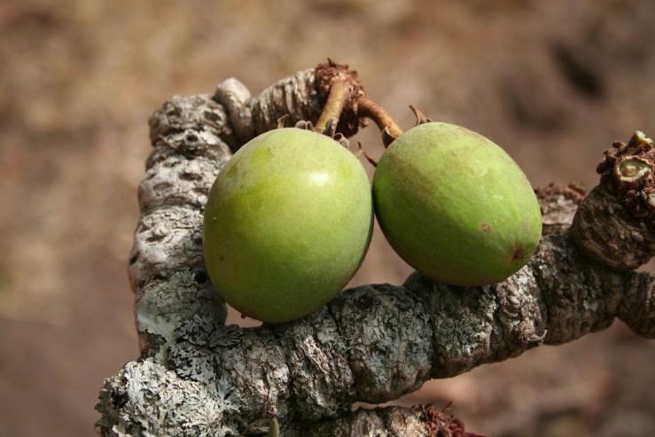 Fruits de karité beurre Kariderm