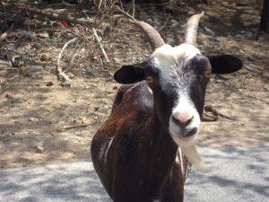 feral goat Aruba