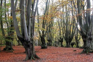 Pollarded hornbeams and beech epping forest