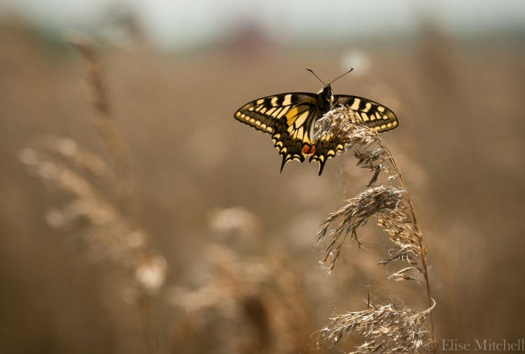 swallowtail at Lakenheath