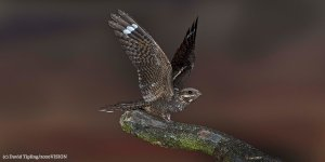 Nightjar from NWT