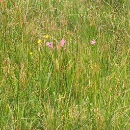 vuttercup, ragged robin and meadow