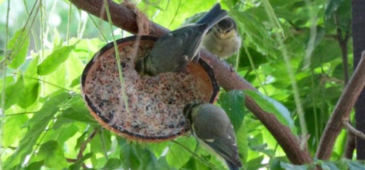 blue tit family on fat