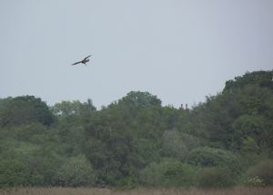 Marsh Harrier jemima pett