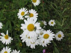 ox-eyed daisy and pollen bug